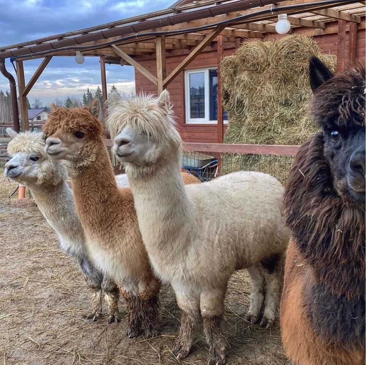 Ферма «Российские Альпаки» Походкино, фото
