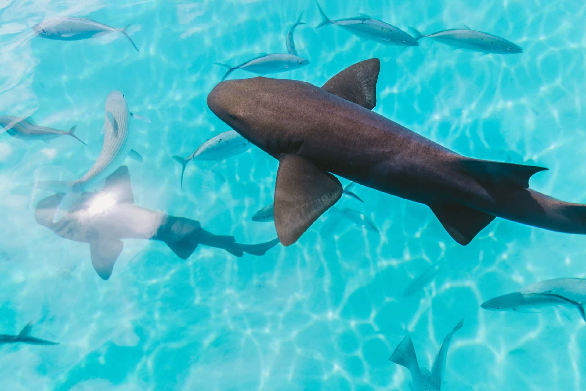 Sharks feeding Мальдивы, фото