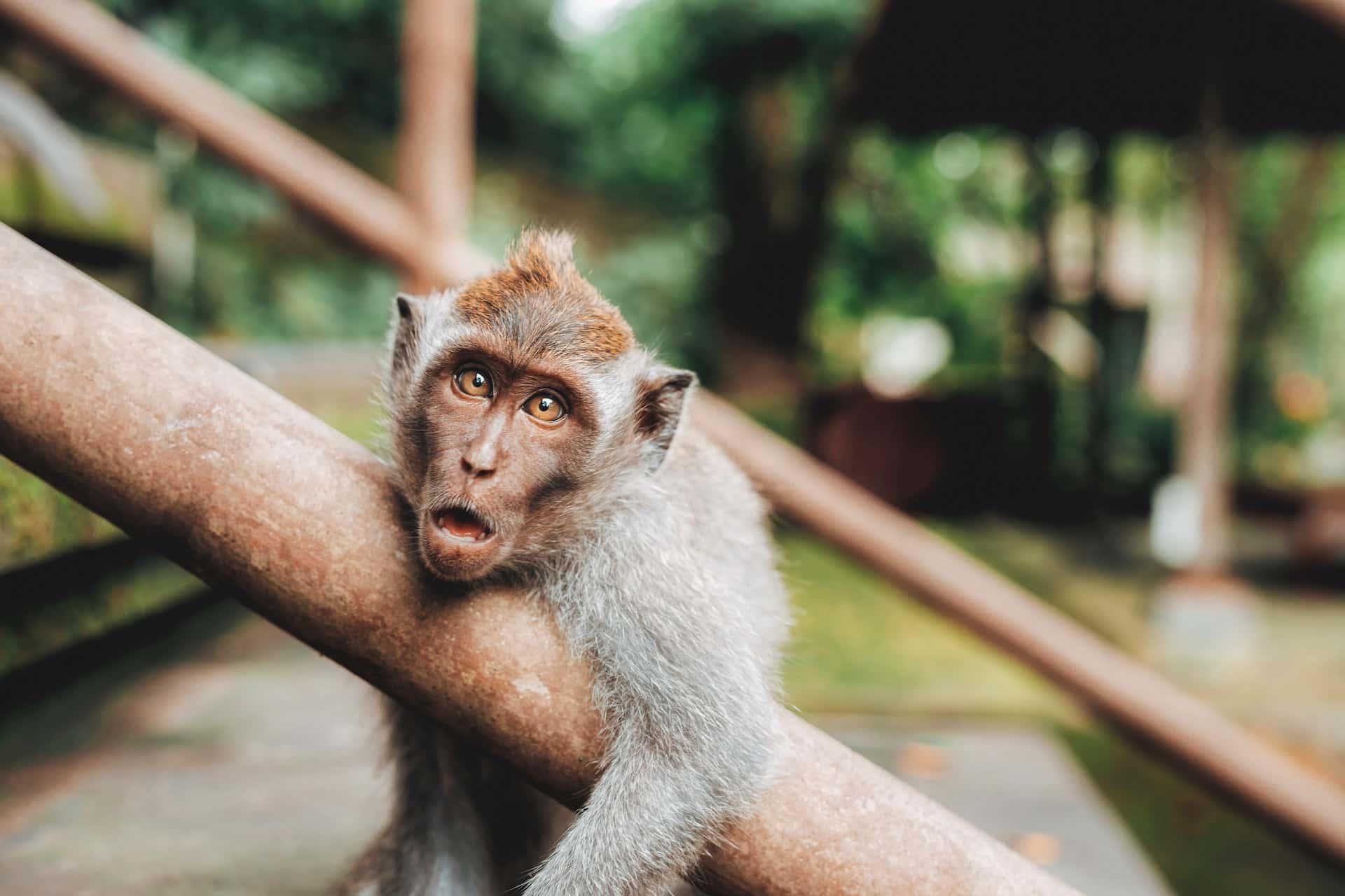 Monkey, фото